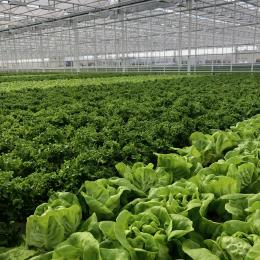 Green Automation - Living Lettuce system - Large Head lettuce