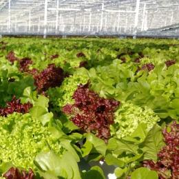 Green Automation - Living Lettuce system - Close-up