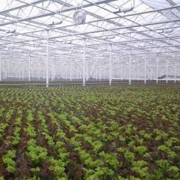 Green Automation - Living Lettuce system - Field